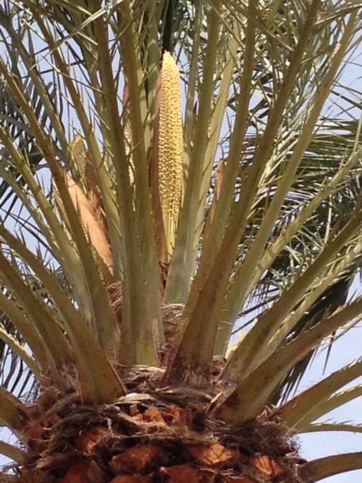 palmera hembra(2)